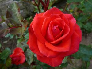 Выращивание роз дома