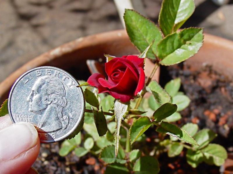 Красные маленькие розы для дома