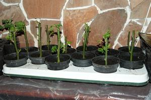 Выращивание роз черенкованием