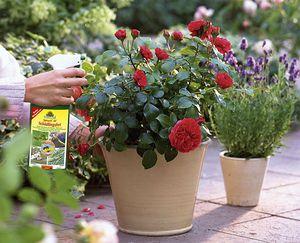 Как ухаживать за розами дома