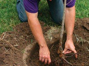 Подготовка ямы для саженцев и посадка яблонь весной, когда и как сажать, видео инструкция
