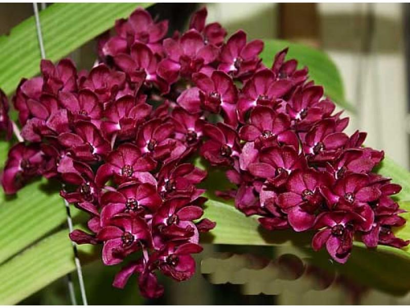 Размножение орхидей в домашних условиях