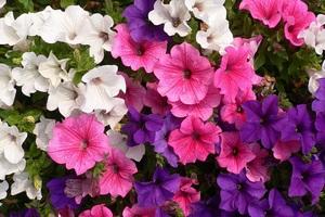 Петуния - очаровательный цветок