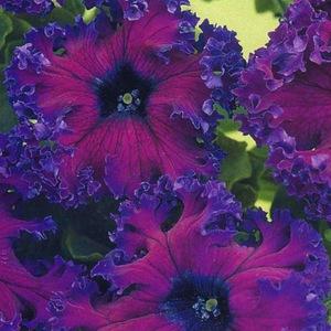Петуния Эрфурт пурпурная