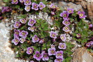 Многолетний цветок для сада