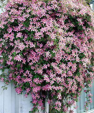 Климатис декоративный цветок