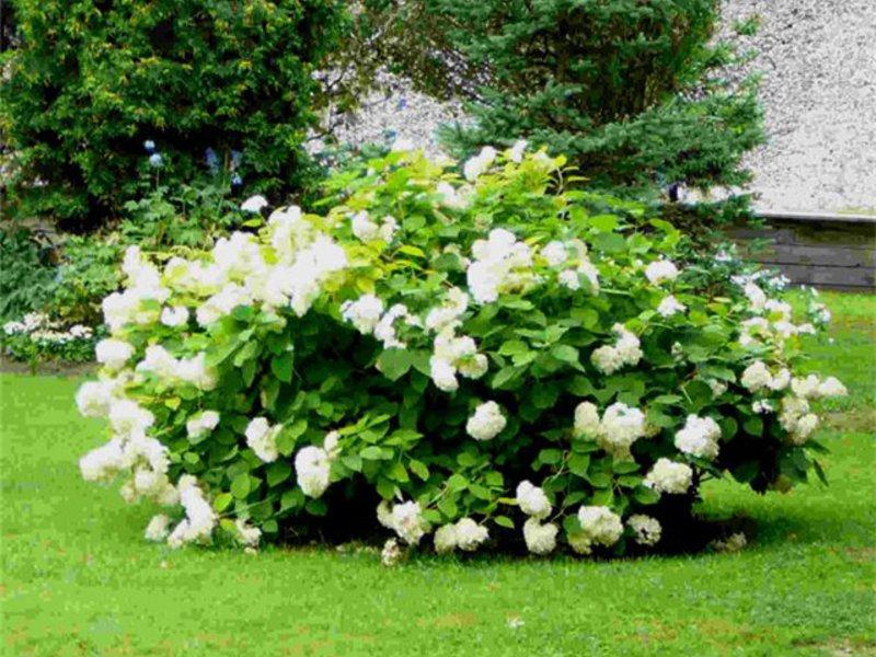 Белая гортензия в саду
