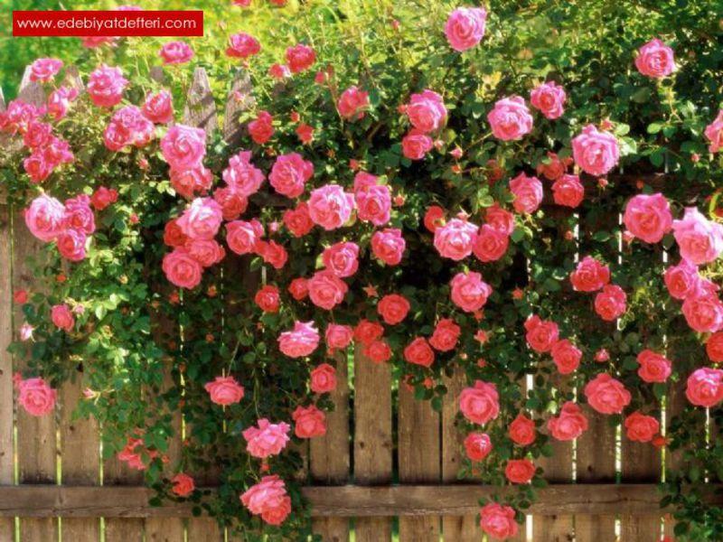 Розы как украшение сада
