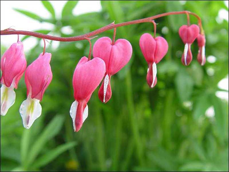 Глициния цветущая