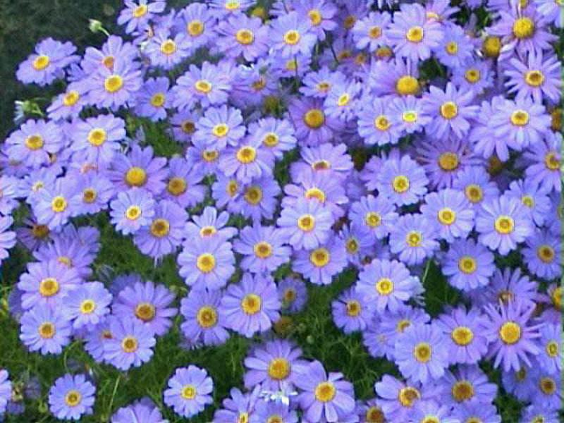 Полевые цветы в полисаднике