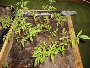 Как вырастить астильбу из семян