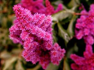 Традиционное растение астильба