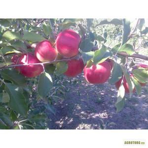 Яблоня джонатан описание фото отзывы