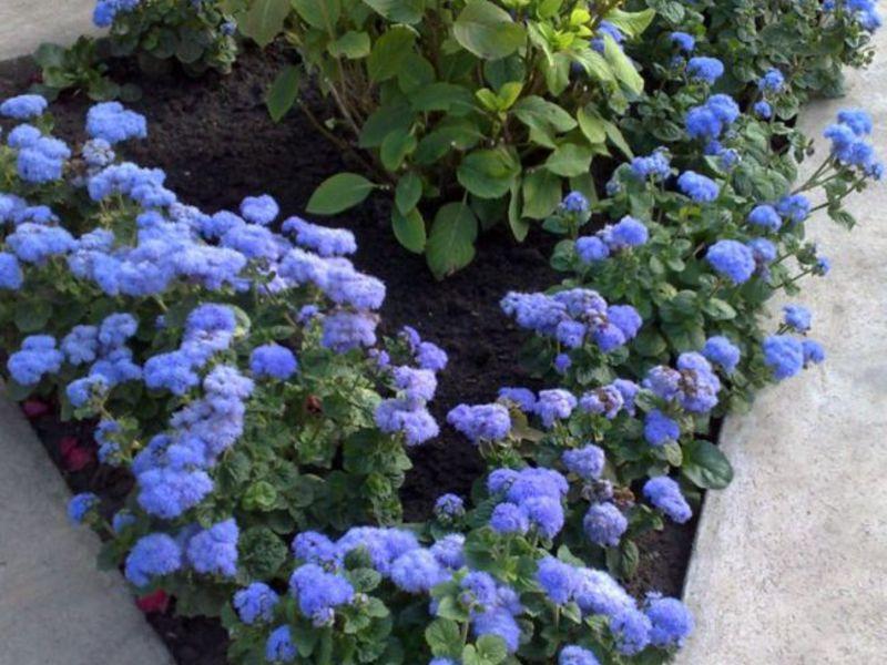 Сочетание агератума с другими цветами