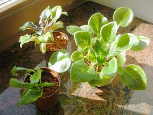 Описание комнатных условий для хорошего роста и цветения фиалок