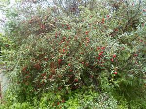 Кустовидная вишня «Степная»