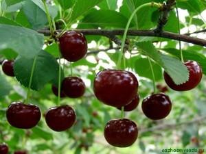 Правильный уход за деревьями в результате приведет к богатому урожаю вишни