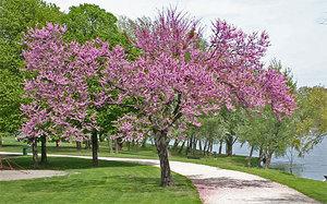 Цветение древовидной вишни