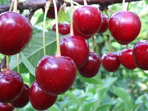 Сорта вишня болотовская описание сорта