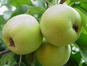 Яблуні карликові сорти
