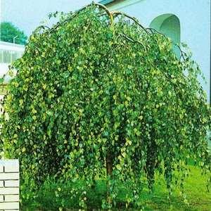 Яблони карликовые сорта