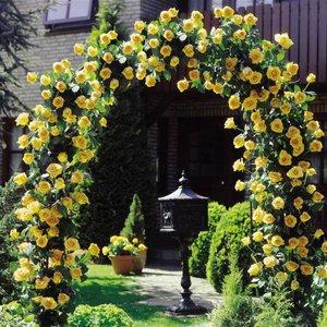 Плетистая желтая роза фото