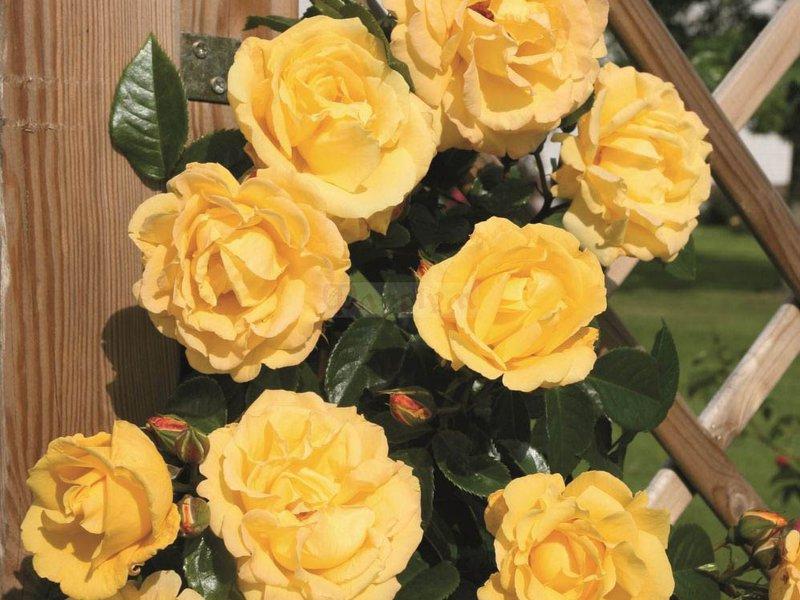 Живой розы фото
