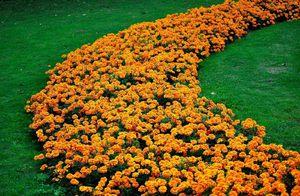 С какими растениями можно садить бархотки