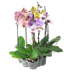 Уход за орхидеей в домашних условиях фаленопсис