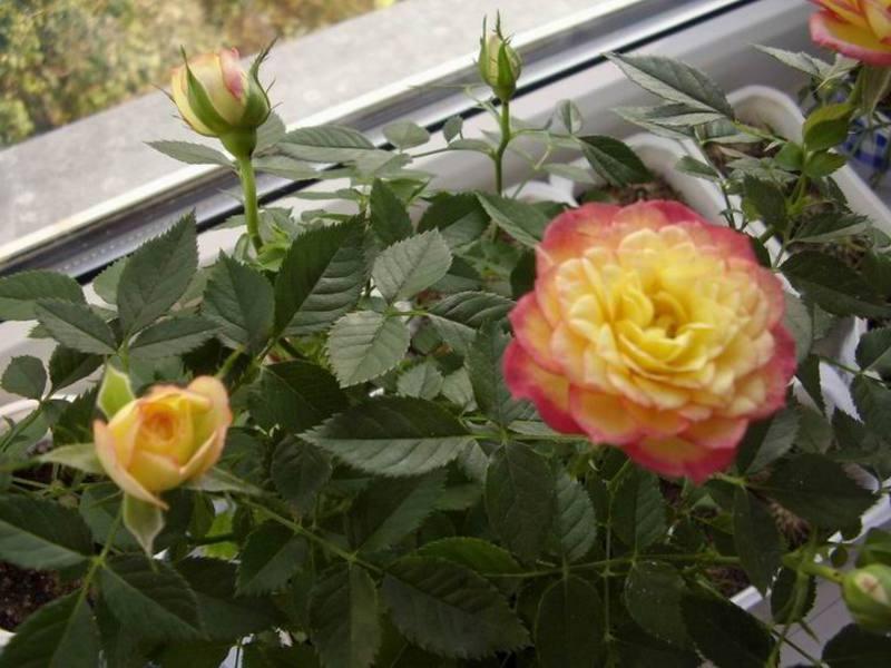 Розы - как ухаживать за этими цветами в домашних условиях.