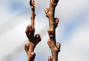 Облепиха дерево или кустарник
