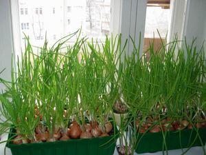 Как вырастить лук дома 2 пошаговые инструкции с фото 725