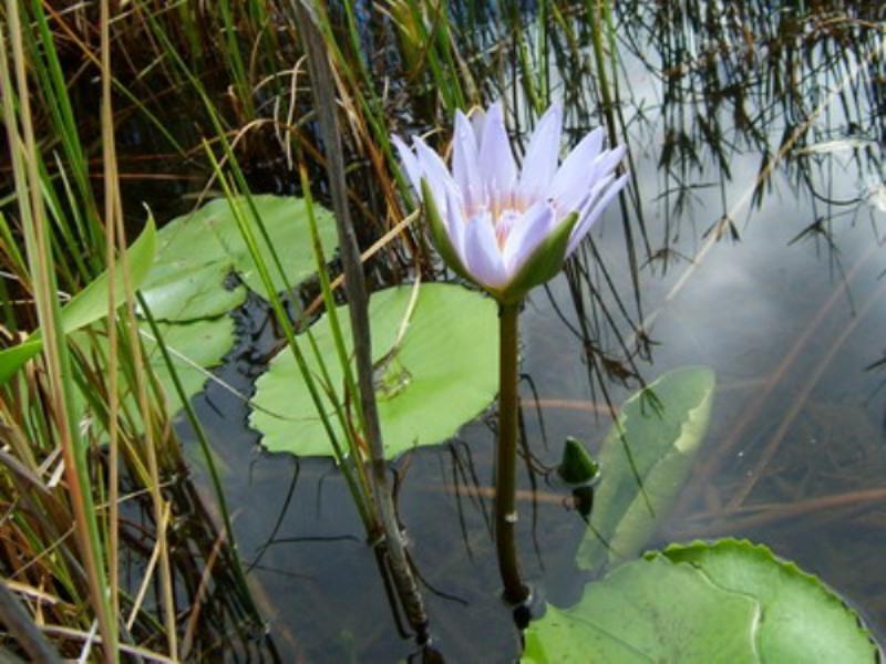 Водяная лилия фото