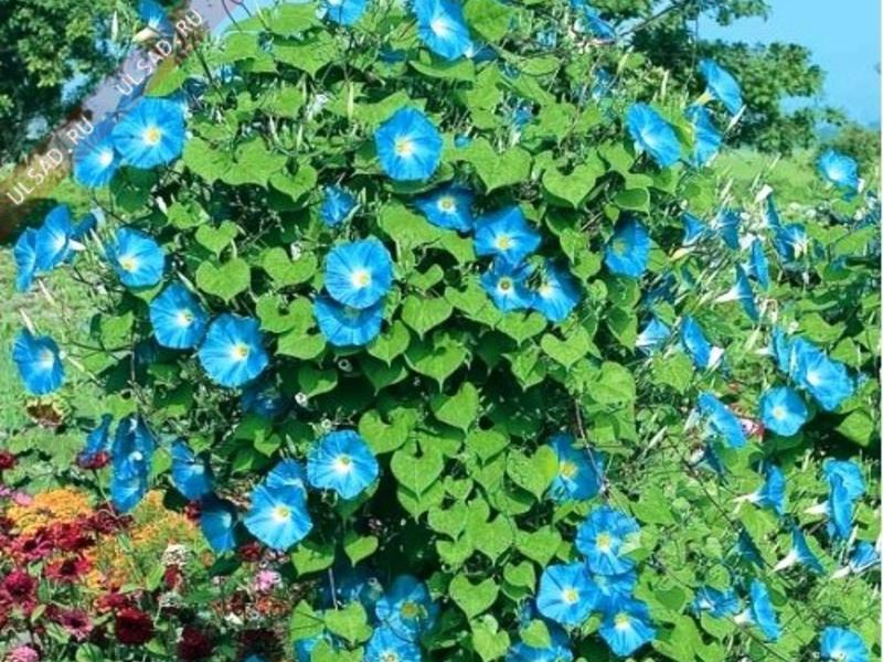 Вьюнок трехцветный выращивание из семян когда сажать 54