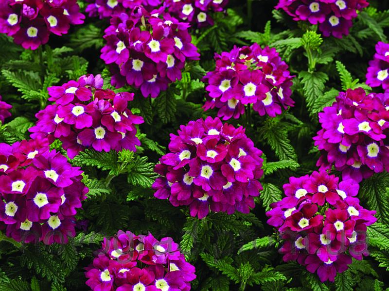 Цветок вербена уход содержание