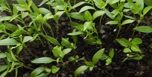 Высадка рассады сладкого перца в грунт производится по истечении 80-90 дней, после того, как были посажены семена