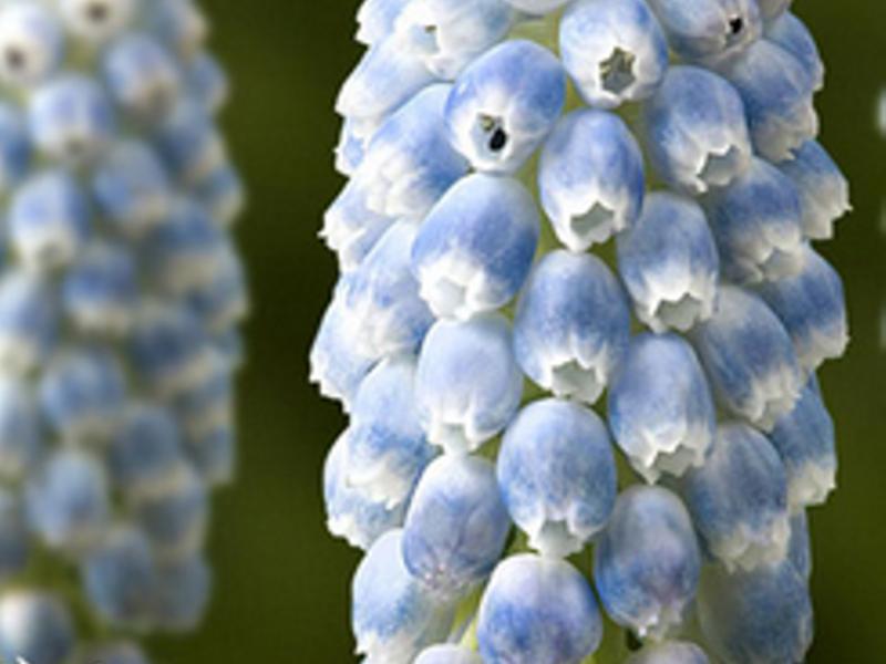 Мускари гибридноный (Muscari Peppermint)