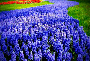 Весенние цветы мускари