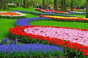 Мускари смотрится очень красиво в комбинации с другими яркими цветами