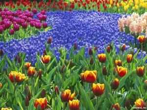 Клумба разноцветных тюльпанов в сочетании с мускари выглядит восхитительно