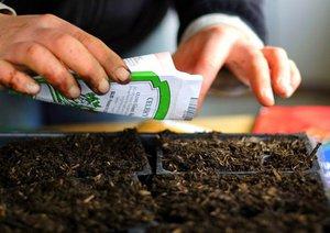 Семена высеивают в ящик подготовленными