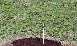 Советы как правильно посадить яблоню: определение места, выбор саженца, технология посадки и советы экспертов