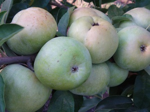 яблоня семеренко фото описание