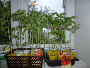 Стаканы очень часто используют для выращивания рассады.