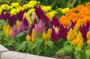 Яркие и сочные цвета не могут оставить равнодушным кого-либо. Благодаря своему разнообразию целозия пользуется большой популярностью
