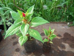 Выращивание целозии рассадой даст отличные результаты только в случае правильного ухода за сеянцами