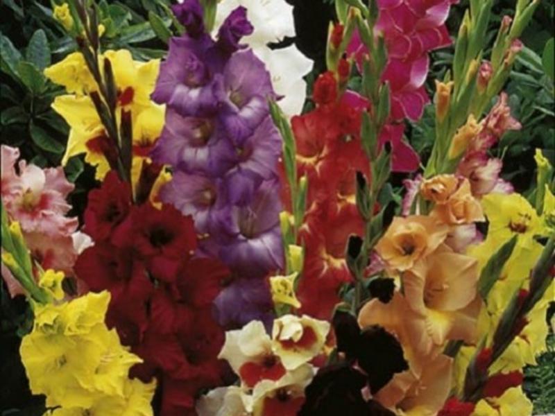 Где купить цветы гладиолусы зимой в домашних условиях купить цветы рускус итало в москве