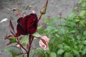 Уход за розой магия
