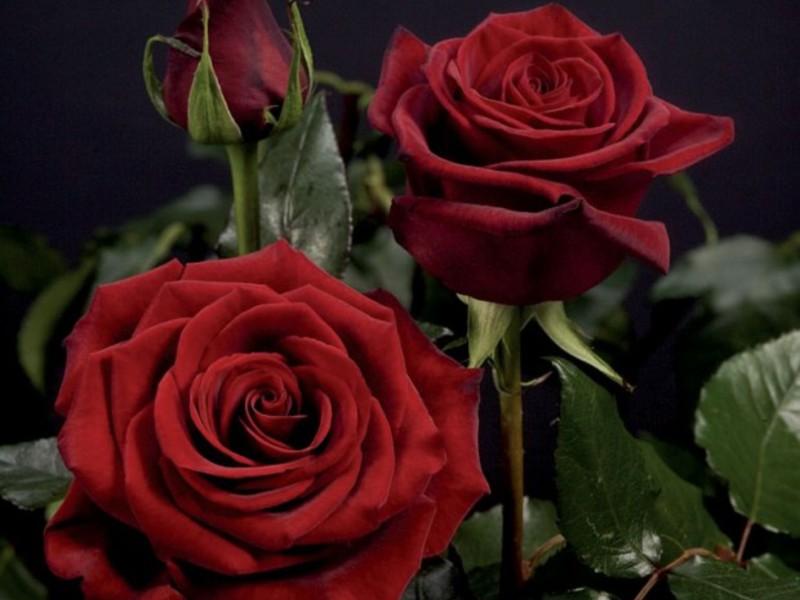 Черная магия чайно гибридная роза