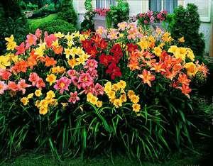 Лилейник в саду выглядит ярко и празднично.